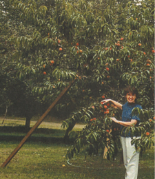 A Pennsylvania peach tree, which was barren for eight years, bears so much fruit with Pure-Gro it has to be staked.